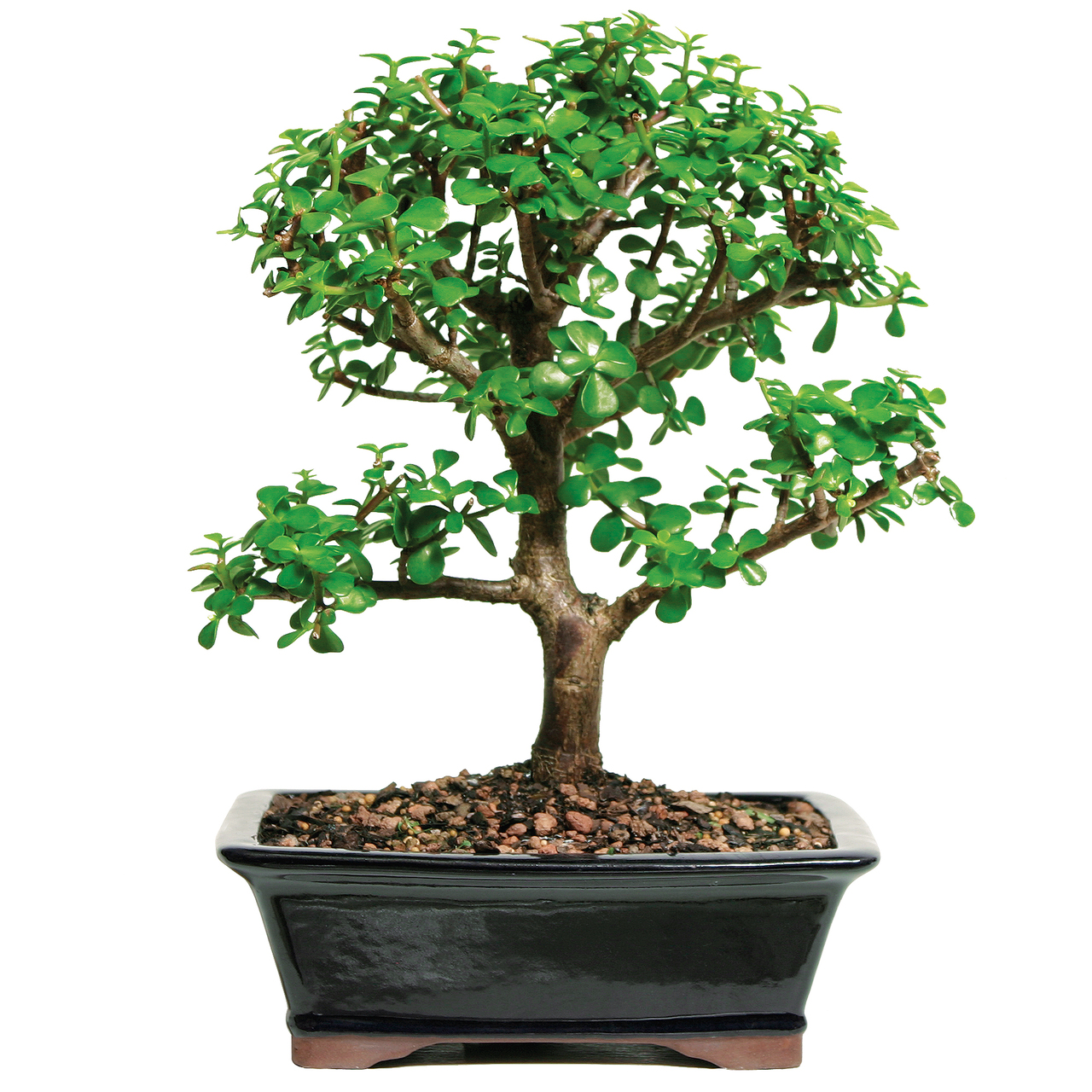 Grow Green Bonsai